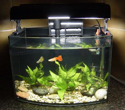 guppy fish tank - get domain pictures - getdomainvids.com Guppy Fish Eggs In Tank